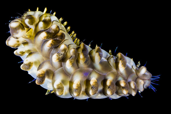 Scale Worm