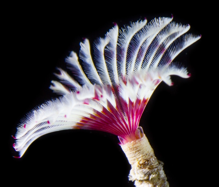 Split-Crown feather duster