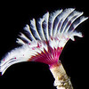Split-Crown feather duster