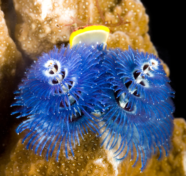 Spirobranchus corniculatus