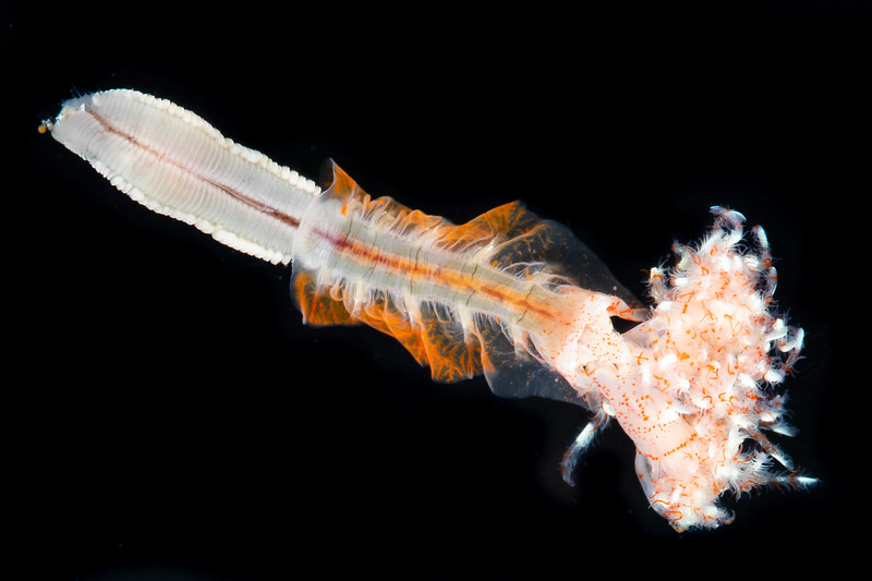 Serpulid tubeworm