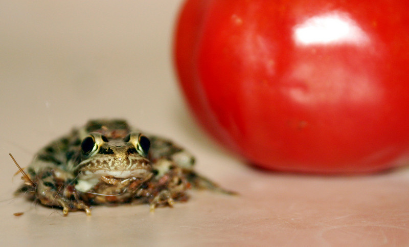"This little guy was hopping down my hallway and I thought that was fortuitous but he was so freaked out (in a houseful of cats, go figure) that I didn't wash the cat hair off of him and had to shoot this without looking through the viewfinder.  The tomato is approx 2"" in diameter and the frog was teeeeeeny."