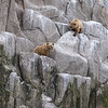 The two cubs were calling loudly as they climbed around on the rocks