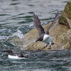 A Common Guillemot taking to the sea