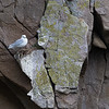 A nest with a view for this Kittiwake on the bird cliffs at Preobrazheniya Bay