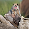 Arctic Ground Squirrels are very vocal, and very territorial