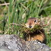 Arctic Ground Squirrles were busy collecting food and nesting materials
