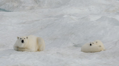 Mother and first year cubs on sea ice