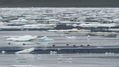 Eiders, near Doubtful Harbour, Wrangel Island