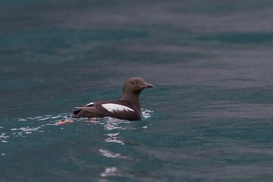 Pigeon guillemot, Cape Waring, Wrangel Island