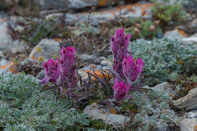 Indian Paint Brush, Ptichiy Bazar, Wrangel Island