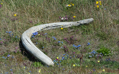 Woolly mammoth tusk, Doubtful Harbour, Wrangel Island