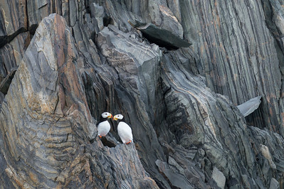 Horned puffins, Herald Island