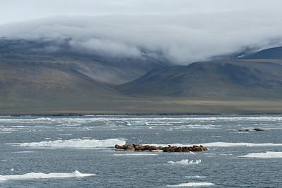 Walrus at Wrangel Island