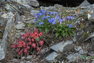 Stonecrop and Arctic Forget-me-not, Ptichiy Bazar, Wrangel Island