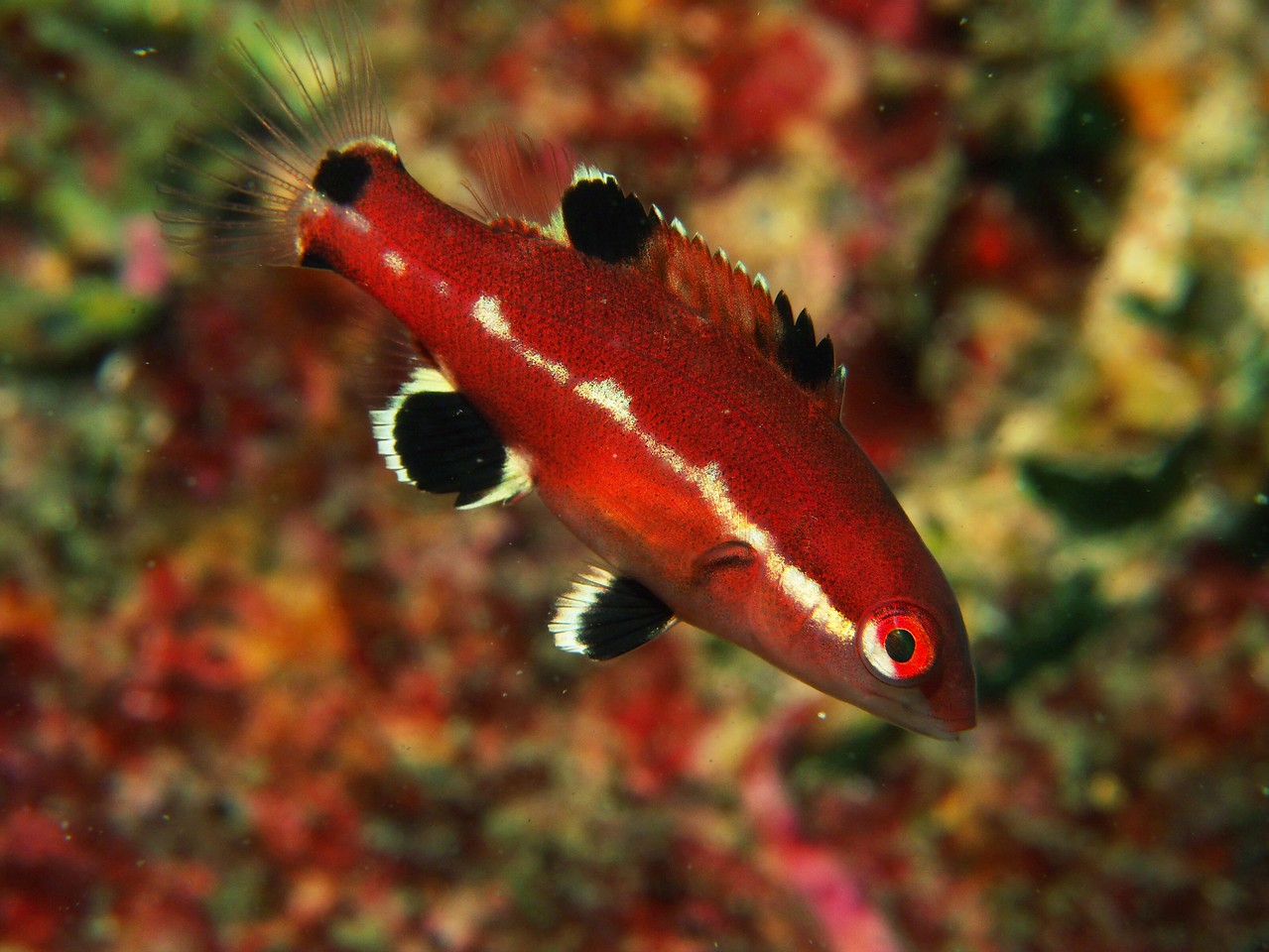 Semicossyphus pulcher (california sheephead)
