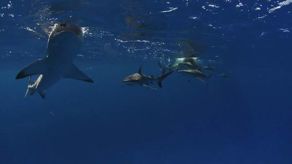 Bikini SHARKS!