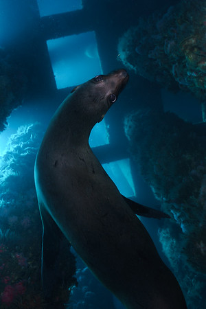 Sea lions are the ever present guardians of the oil rigs in San Pedro, California.