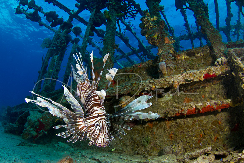 Lionfish on the Willaurie Wreck