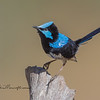 Superb Fairy-wren, Malurus splendens