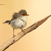 Superb Fairy-wren, Malurus cyaneus, Female