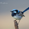 Superb Fairy-Wren, Malurus cyaneus.