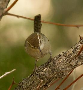 Bewick`s Wren  Lone Pine  2012 05 20 (1 of 2).CR2