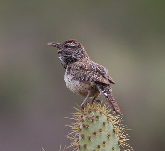 Cactus Wren  Camp Pendleton 2018 04 28-3.CR2