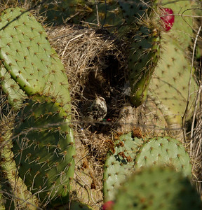 Cactus Wren  Camp Pendleton 2012 04 15-2.CR2