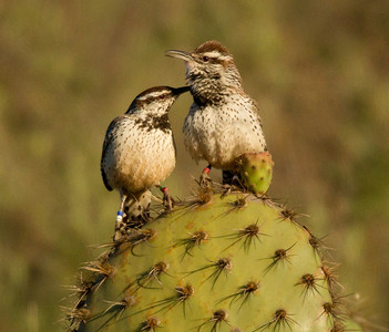 Cactus Wren  Camp Pendleton 2012 03 03 (4 of 4).CR2