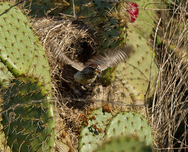 Cactus Wren  Camp Pendleton 2012 04 15.CR2