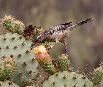 Cactus Wren  Camp Pendleton 2013 05 08 (2 of 3).CR2