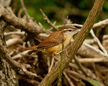 Carolina Wren  Government Canyon State Natural Area Texas 2012 03 24-2.CR2-1.CR2