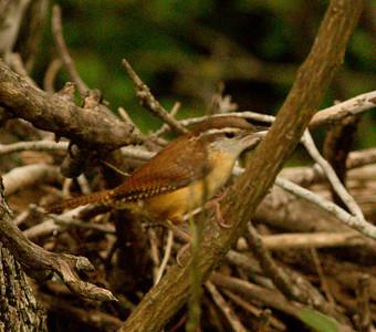 Carolina Wren  Government Canyon State Natural Area Texas 2012 03 24-1.CR2     -1.CR2