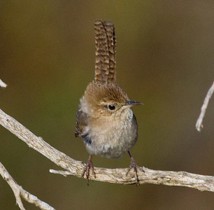 House Wren  Batiquitos Lagoon 2012 05 26 (1 of 4).CR2