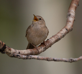 House Wren Tom`s Place 2018 05 22-4.CR2