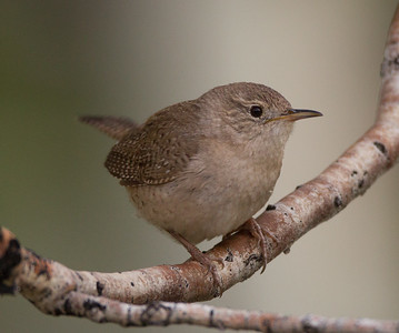 House Wren Tom`s Place 2018 05 22-2.CR2