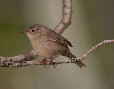House Wren Tom`s Place 2018 05 22-6.CR2