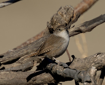 House Wren Imperial Beach 2015 12 05-1.CR2