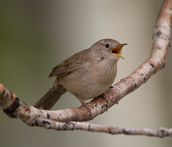 House Wren Tom`s Place 2018 05 22-3.CR2