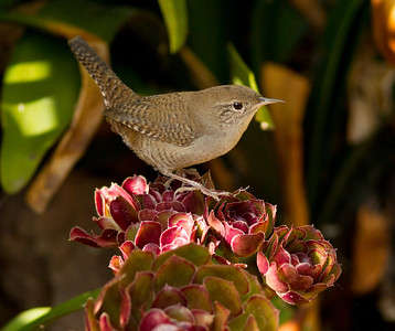 House Wren Leucadia 2014 09 02 (2 of 2).CR2