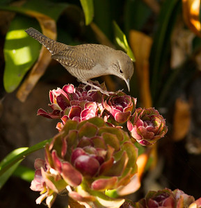 House Wren Leucadia 2014 09 02 (1 of 2).CR2