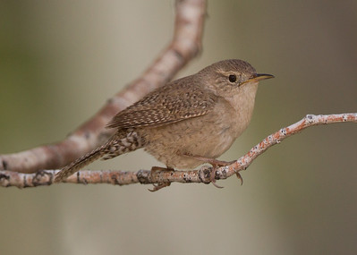 House Wren Tom`s Place 2018 05 22-5.CR2