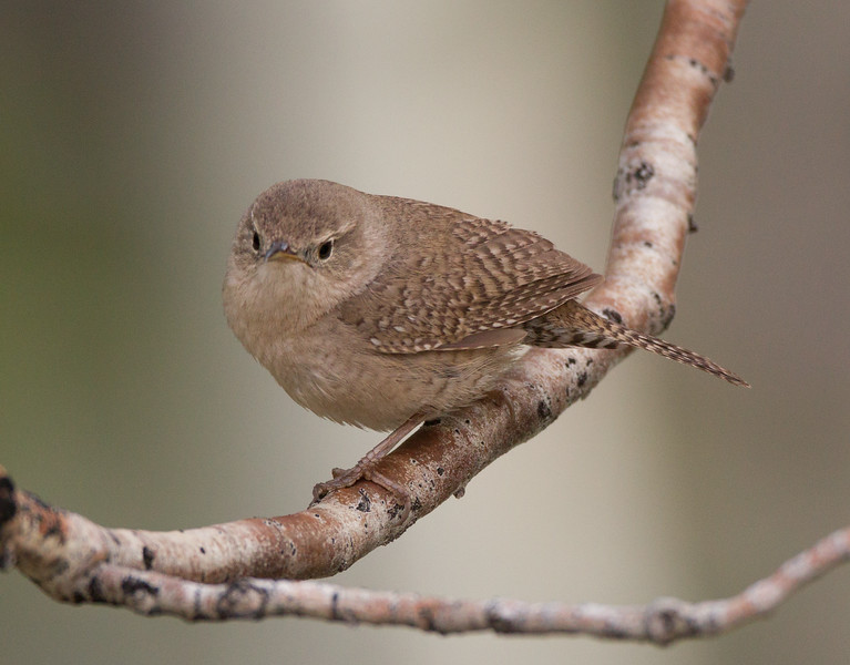 House Wren Tom`s Place 2018 05 22-1.CR2