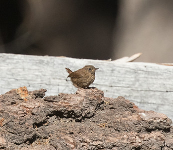 Paific Wren Mammoth Lakes 2020 07 27-3.CR2