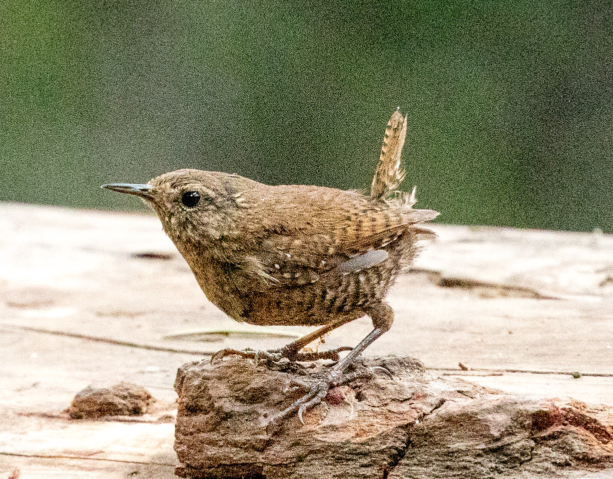 Pacific Wren Mammoth Lakes 2017 07 25-1.CR2