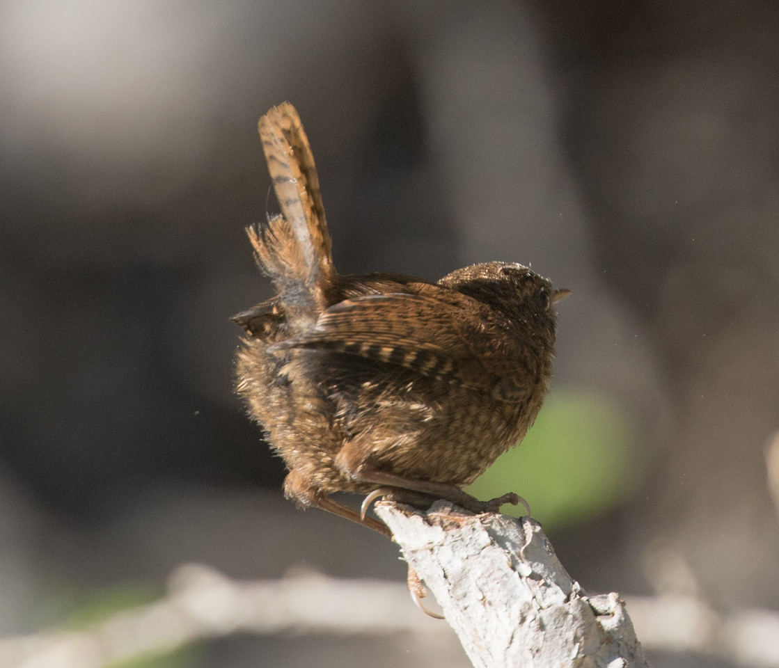 Pacific Wren  Twin Lakes Mammoth Lakes 2017 07 02-2.CR2