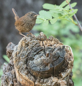 Pacific Wren  Twin Lakes Mammoth Lakes 2017 07 02-4.CR2