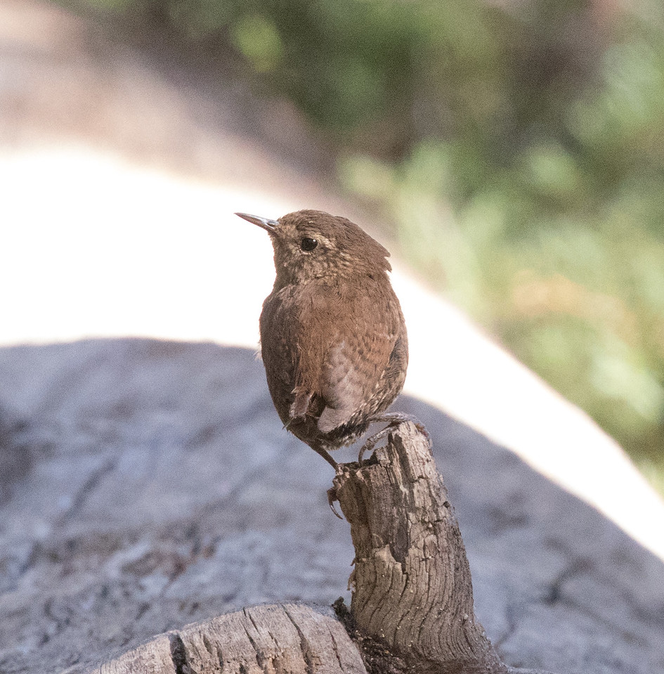 Pacific Wren Mammoth Lakes 2017 07 27-1.CR2