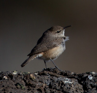 Rock Wren Mammoth Lakes 2014 03 21-1.CR2